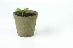 Biologiskt nedbrytbar torv Moss Pot med tomatplantor som isoleras på wh Arkivbild