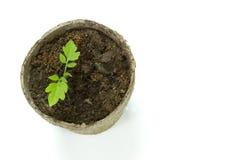 Biologiskt nedbrytbar torv Moss Pot med tomatplantor som isoleras på wh Arkivfoto