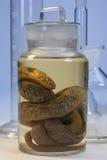 Biologiskt prov - orm Arkivbilder