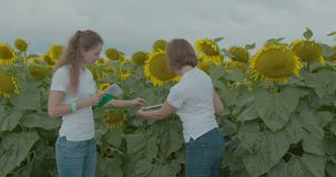 Biologist or agronomist, make measurements on the field of sunflowers.