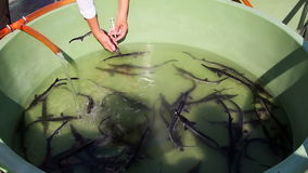 Biologist catching and implanting microchips to sturgeons stock video footage