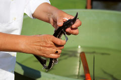 Biologist catching and implanting microchips to sturgeons. & x28;Acipenser stellatus& x29 stock photo