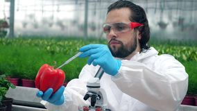 A biologist checks a ripe bell pepper, working with a pipette.