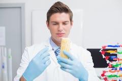 Biologist examining corn with syringe Stock Image