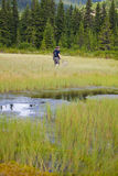 Biologist exploring a bog. In Cindrel Mountains in Romania Royalty Free Stock Photography