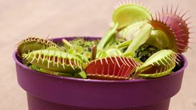 Biologist feeds venus flytrap with tweezers