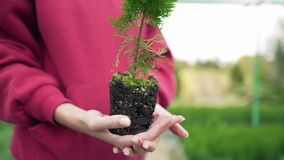 The biologist is holding a plant with pressed soil. Ecosystem, root of coniferous seedling. Wide angle, static shot