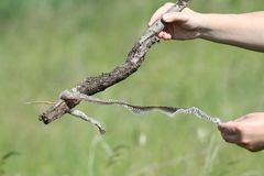 Biologist holding snake skin Royalty Free Stock Photo