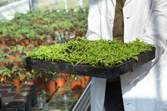 Biologist holding tray with sprouts Stock Photo