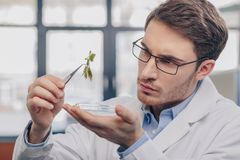 Biologist looking at plant in tweezers. Male biologist in eyeglasses looking at plant in tweezers in laboratory Royalty Free Stock Image