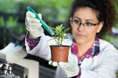 Biologist pouring chemicals in pot with sprout Royalty Free Stock Image