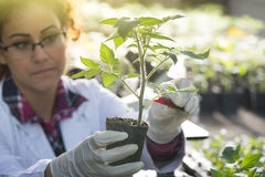 Biologist pouring chemicals in pot with sprout Royalty Free Stock Photography
