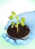 Biologist's hand holding pea plant Stock Photos