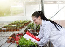 Biologist with sprouts in greenhouse Stock Photos