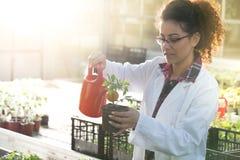Biologist watering seedlings in greenhouse Royalty Free Stock Photo