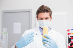 Biologist wearing protective mask and examining corn with syringe Royalty Free Stock Photography