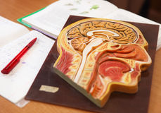 Biology classroom. Close up of anatomical model of a human head with book, writing-book and pen on the desk in biology classroom royalty free stock image