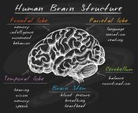 Biology human brain structure on chalkboard. Cerebrum diagram. Biology human head brain structure, cerebral sections on chalk board vector illustration vector illustration
