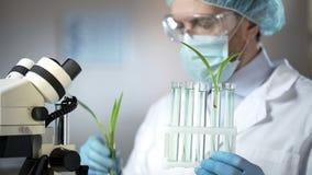 Bioloog die groene installatie in reageerbuis, landbouwexperiment, hormonen controleren stock fotografie