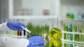 Bioloog die meststof inspuiten in test wheatgrass, pesticidenontwikkeling stock videobeelden