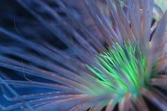 Bioluminescent anemon Zdjęcie Royalty Free