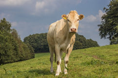 Bionda francese d l'Aquitania della mucca in un paesaggio olandese Fotografia Stock
