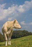 Bionda francese d l'Aquitania della mucca in un paesaggio olandese Immagine Stock