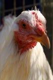 bionda kurczak Obrazy Royalty Free