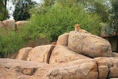 biopark的狮子封入物 西班牙巴伦西亚 库存照片