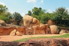 biopark的长颈鹿封入物 西班牙巴伦西亚 免版税图库摄影