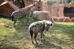 biopark hyenas που επισημαίνονται Στοκ φωτογραφία με δικαίωμα ελεύθερης χρήσης