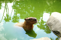 BioPark. Somewhere in Japan with a Capybara Royalty Free Stock Photo