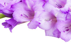 Biorder of gladiolus flowers Royalty Free Stock Images