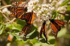 biosfery motylia Mexico monarcha rezerwa Obrazy Stock