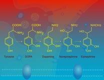 Biosynthese van epinefrine Stock Foto
