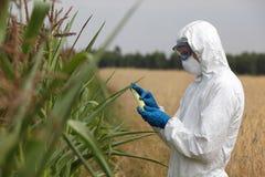 Biotechnologia inżynier egzamininuje kukurydzanego cob na polu na polu Zdjęcie Royalty Free