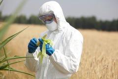 Biotechnologieingenieur op gebied die maïskolf op gebied onderzoeken Royalty-vrije Stock Fotografie