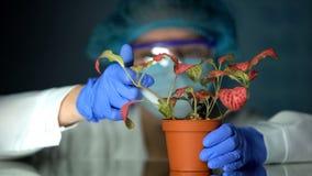 Biotechnologist впрыскивая жидкость теста в баке с заводом, исследованием влияния токсина стоковое изображение rf