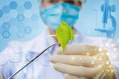 Biotechnologist is working with the plant sample in the laboratory royalty free stock images