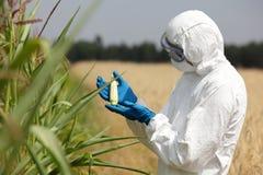 Biotechnology engineer examining immature corn co. Biotechnology engineer in white uniform, goggles, mask and gloves, examining immature corn cob on field stock photos