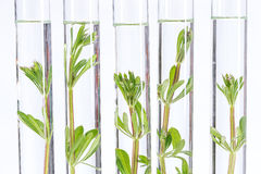 Biotechnology Research. Seedling growing in laboratory undergoing experiment Stock Photos