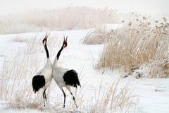 Bip de la grue rouge-couronnée dans la neige Image libre de droits