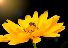 Biparadiset är denna gula blomning Arkivfoto