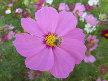 Bipinnatus και μέλισσα κόσμου στο φεστιβάλ λουλουδιών στην Ταϊβάν Στοκ φωτογραφία με δικαίωμα ελεύθερης χρήσης