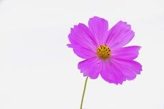 紫色bipinnatus 库存照片
