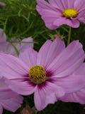 Bipinnatus Casanova Pink 05 del cosmos Fotografía de archivo libre de regalías