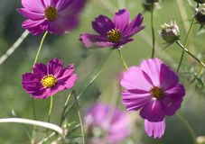 Bipinnatus cosmos flowers Royalty Free Stock Photography