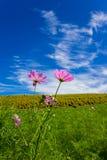 Bipinnatus de cosmos et champs de Kochia avec le beau ciel dans Ibaraki, Japon Photographie stock libre de droits