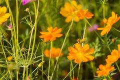 Bipinnatus del cosmos para la floración viva del color en cosmos de los prados como fondo Fotos de archivo