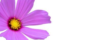 """Bipinnatus pourpre de cosmos de  de Cosmos†d'""""Wild de fleur sauvage fleurissant pendant le ressort et été d'isolement sur un Photo libre de droits"""
